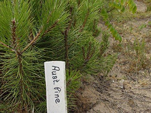 Tree Austrian Pine (AUSTRIAN PINE TREES Pinus nigra 3-6