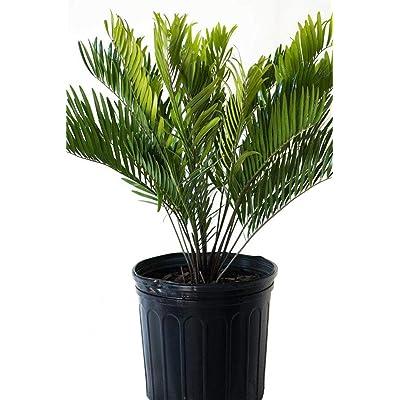 """AMERICAN PLANT EXCHANGE Coontie Palm Zamia Pumila Live Plant, 6"""" Pot, Indoor/Outdoor Air Purifier : Garden & Outdoor"""