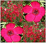 700 x Scarlet Flax Seed ~ BRILLLIANT DEEP RED - Linum grandiflorum rubrum - Heavy Blooms Flower Seeds ~ Zone 3-10 - by MySeeds.Co