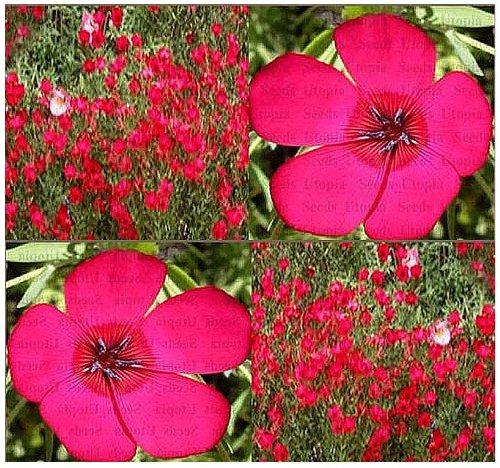 Flax Flower - 700 x SCARLET FLAX Seed ~ BRILLLIANT DEEP RED - Linum grandiflorum rubrum - HEAVY BLOOMS Flower Seeds ~ Zone 3-10 - By MySeeds.Co