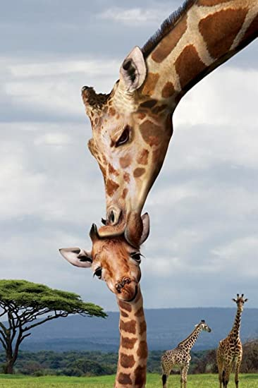 THE FIRST KISS GIRAFFE WITH IT/'S BABY CALF POSTER  24x36