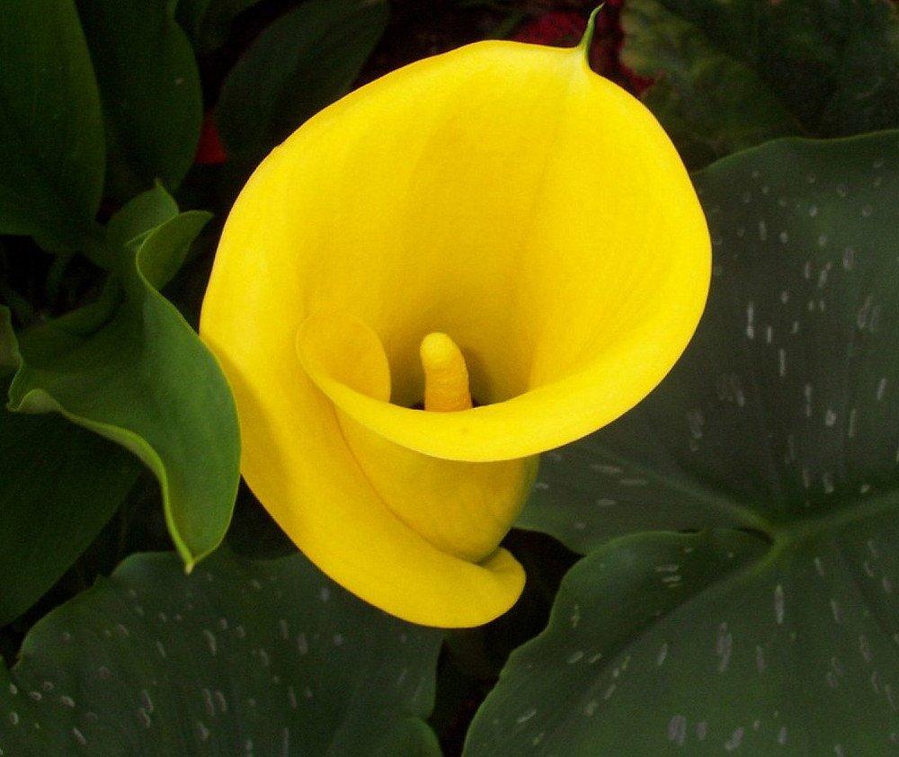 Amazon gold rush calla lily bulb 1 34 x 2 deep golden amazon gold rush calla lily bulb 1 34 x 2 deep golden yellow patio lawn garden dhlflorist Images