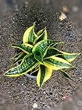 Sansevieria trifasciata hort. ex Prain cv. Futura Twisted Sister Tsunami (hurricane)