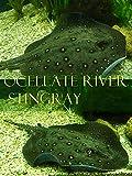 Ocellate river stingray