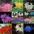5 PCS Bulbs Lycoris Radiata Spider lily Bulb Seeds Home Garden Flower Seed Decor Mix color