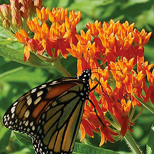- 100 Butterfly Milkweed/Monarch Flower Seeds (Asclepias Tuberosa)