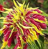 AMARANTH POINSETTIA MIX 500 SEEDS Amaranthus Caudatus NON-GMO USA Foliage Salad