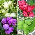30pcs Wax apple seeds Bosnai tree seeds Rare Delicious Perennial subtropical fruit plants for home mini garden landscape plant