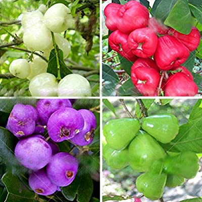 30pcs Wax apple seeds Bosnai tree seeds Rare Delicious Perennial subtropical fruit plants for home mini garden landscape plant