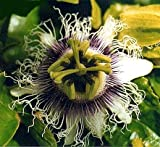 Yellow Passion Fruit 15 Seeds - Passiflora flavicarpa