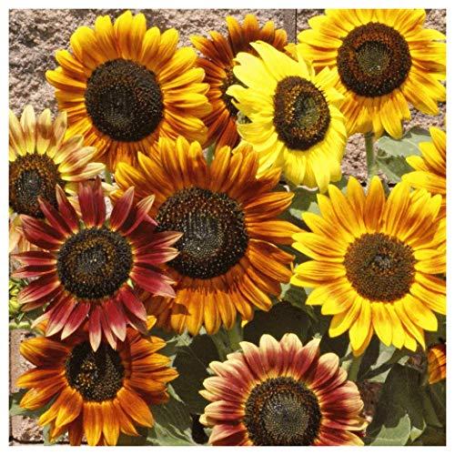 - Everwilde Farms - 1 Lb Autumn Beauty Sunflower Wildflower Seeds - Gold Vault