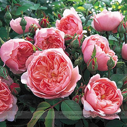 ark Pink Cupped Flat Double Bloom Rose Shrub Flower Seeds, Professional Pack, 50 Seeds/Pack, Fragrant Upright Rose NF784 ()