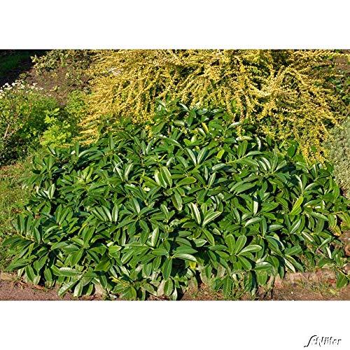 Portugiesischer Kirschlorbeer Angustifolia Hecken Pflanze 20 30 Cm