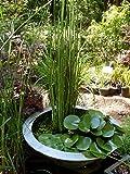 Horsetail (Equisetum hyemale)