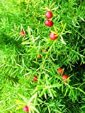 Asparagus Falcatus FERN shrub fragrant flower bush bird atract seed 100 seeds