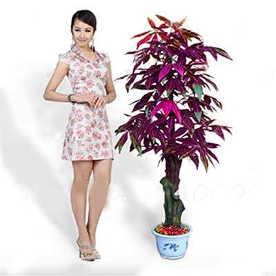 HOTUEEN 5pcs Mini Tree Seeds Bonsai Pachira Tree Seeds Home Decoration Good Luck Plants Trees : Garden & Outdoor