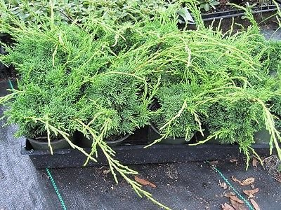 - Shimpaku Juniper, Evergreen, Great for bonsai, TEN plants