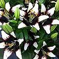Van Zyverden Lilies - Asiatic Black Eye - Set of 7 Bulbs, Black , White