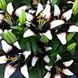Van Zyverden Lilies - Asiatic Black Eye - Set of 7 Bulbs, Black, White