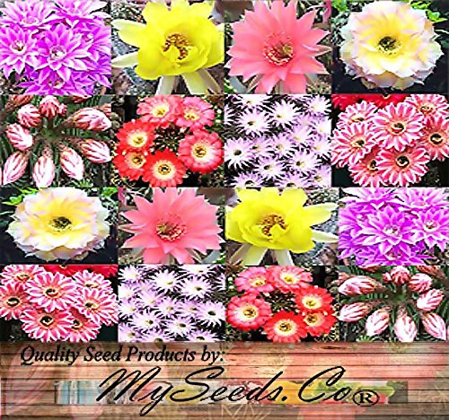 Easter Lily Plant Flowers (20 x Echinopsis Species mixed Seed - Cactus Seeds - AKA Hedgehog cactus, sea-urchin cactus, Easter lily cactus - ASSORTED COLORS & VARIATIONS - Gorgeous Flowers - By MySeeds.Co)