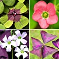 Oxalis Double Luck Collection - Triangularis & Iron Cross | 35 Robust Bulbs | Ships from Easy to Grow TM