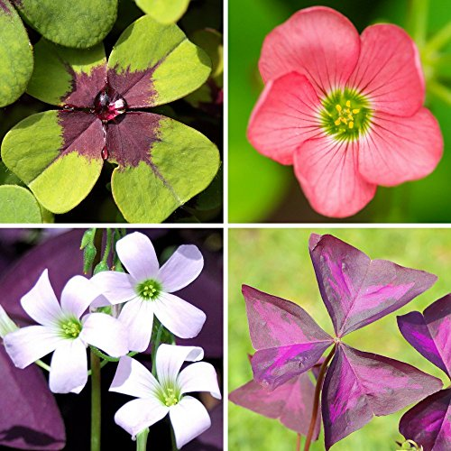 (Oxalis Double Luck Collection - Triangularis & Iron Cross | 35 Robust Bulbs | Ships from Easy to Grow TM)