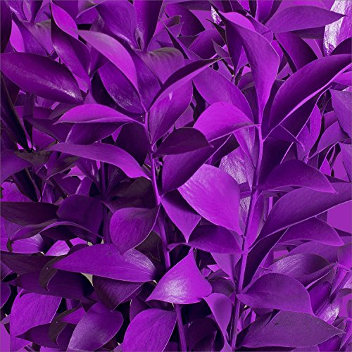 Ruscus Painted Pastel Purple - 120 Stems by Fresh Flowers
