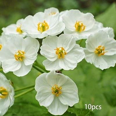 HOTUEEN New Nice Adorable Flower Fragrant Blooms Mountain Lotus Seeds Flowers : Garden & Outdoor