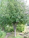 Honeycrisp Apple Tree - Healthy - Established