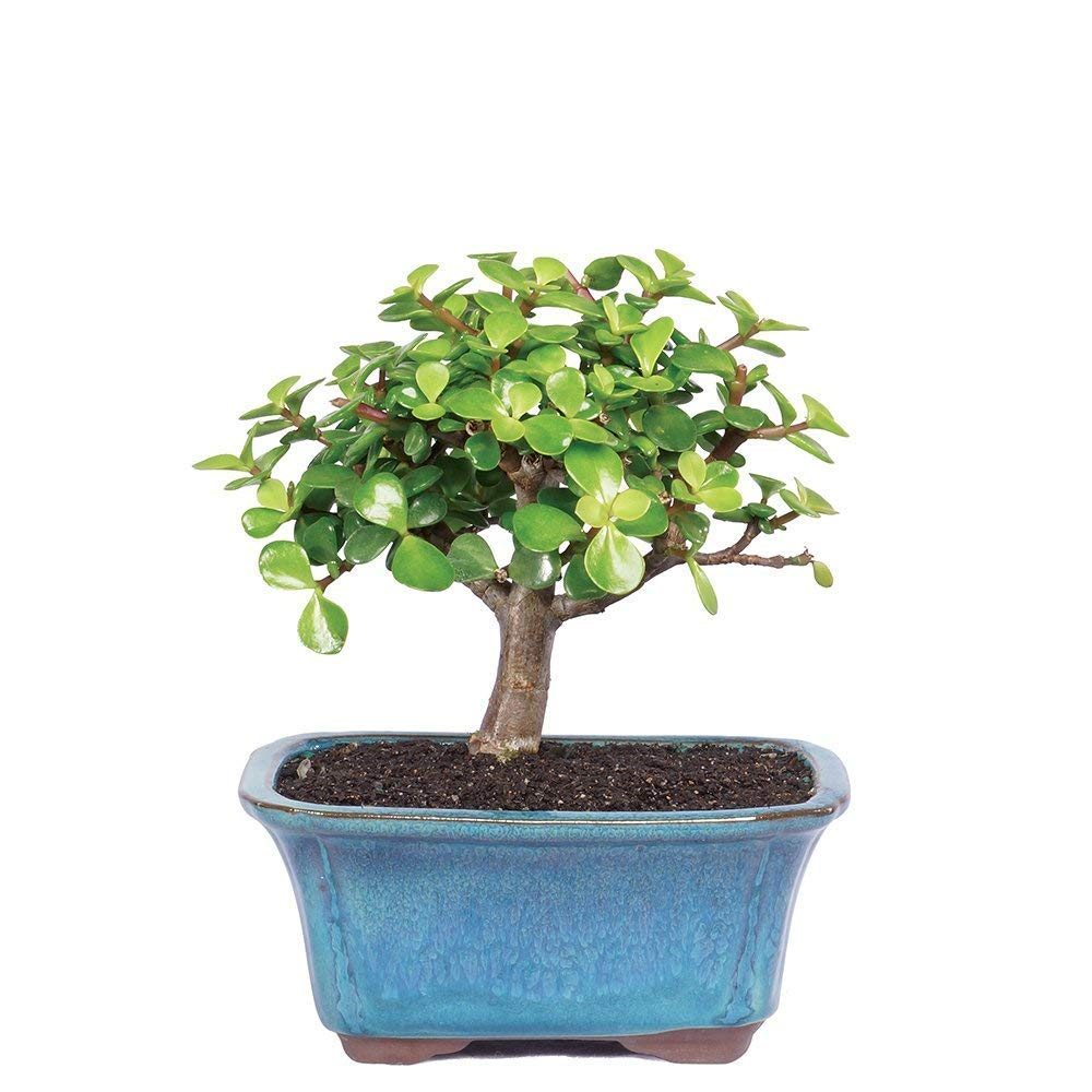 Brussel's Bonsai Live Dwarf Jade Indoor Bonsai Tree-3 Years Old 4'' to 6'' Tall with with Decorative Container, Small, by Brussel's Bonsai (Image #1)