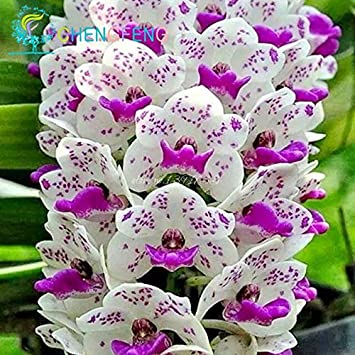EN SOLDES !!!! 100pcs phalaenopsis Graines d\'orchidée papillon ...