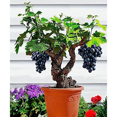 Lulan Miniature Grape Vine Seeds - Patio Syrah - Vitis Vinifera - Houseplant - 15 Seeds - Fruit Bonsai Seeds