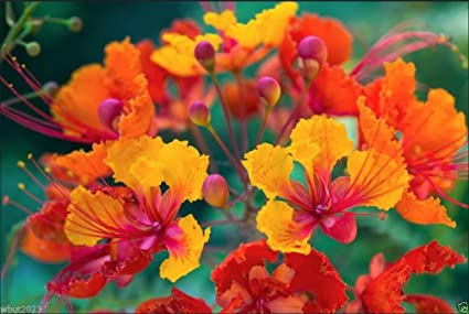 Amazon pride of barbados peacock flower dwarf poinciana pride of barbados peacock flower dwarf poinciana bird of paradise 10 seeds mightylinksfo