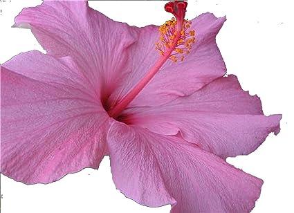 Amazoncom Seminole Pink Tropical Hibiscus Live Plant Bush Large
