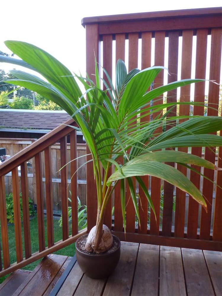 AMERICAN PLANT EXCHANGE Coconut Palm Tree Exotic Indoor/Outdoor Tropical Specimen Live Plant, 6'' 1 Gallon Pot, Cocos Nucifera by AMERICAN PLANT EXCHANGE (Image #4)