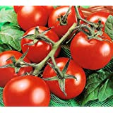 50+ ORGANICALLY GROWN Moneymaker Tomato Seeds, Heirloom NON-GMO, Indeterminate, Open-Pollinated, Smooth, Heavy-Yielding, Delicious, From USA