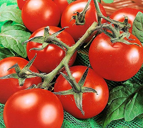 Indeterminate Tomato - 50+ ORGANICALLY GROWN Moneymaker Tomato Seeds, Heirloom NON-GMO, Indeterminate, Open-Pollinated, Smooth, Heavy-Yielding, Delicious, From USA