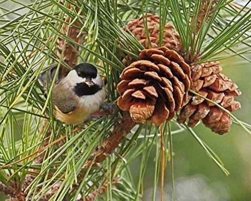 - Photograph of a Chickadee Eating a Pine nut - Fine Art Nature Photography -Chickadee and Pine Cone - Bird Print