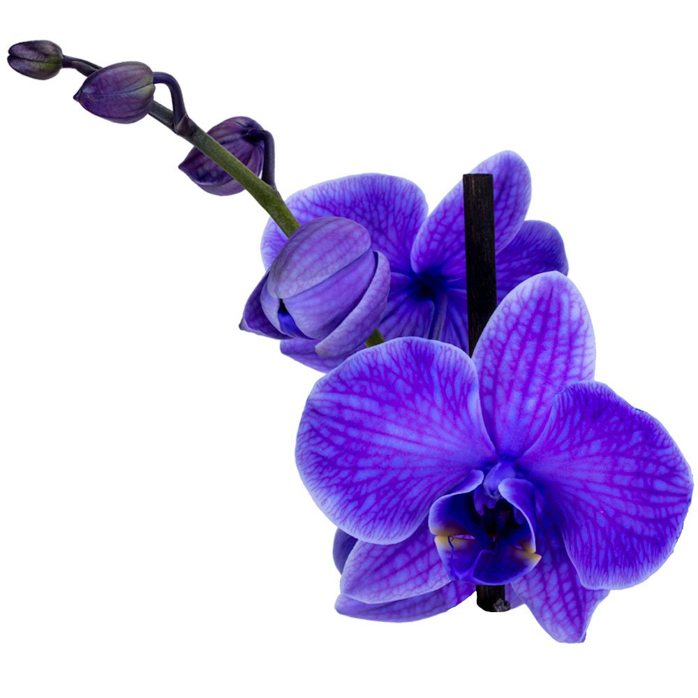 DecoBlooms Live Purple Orchid, 5 inch Blooms by DecoBlooms (Image #3)