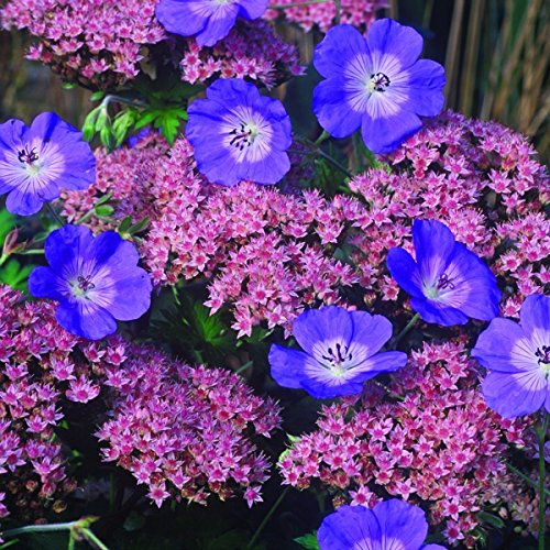 10 pkg Starter Plant of Geranium Rozanne Flower by MULFI_SB