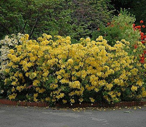 Lemon Lights Yellow Deciduous Azalea - Live Plant - Quart Pot by Amazing Plants (Image #1)