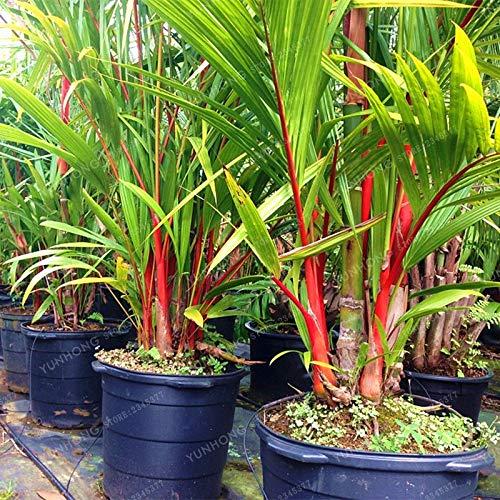 (Lipstick Palm Cyrtostachys Renda Tree Red Sealing Wax Palm Bonsai Pot Plant for Home Garden 10 Pcs/Bag)