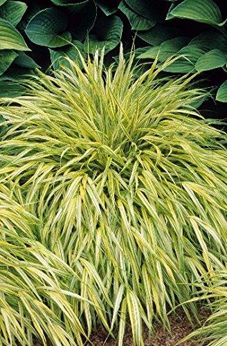 - 9EzTropical - Japanese Forest Grass Hakonechloa macra Aureola 1 Plants Ship in 3