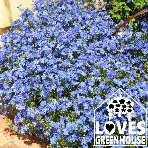 Light Blue Lobelia Seeds