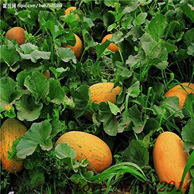 Hot Sale 50 Seasons cantaloupe melon seed sowing vegetable seeds fruit seed planting sweet crispy balcony : Garden & Outdoor