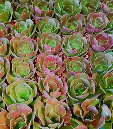 Fat Plants San Diego Mini Rosette Succulent Plants in Growers Pots by Fat Plants San Diego (Image #9)