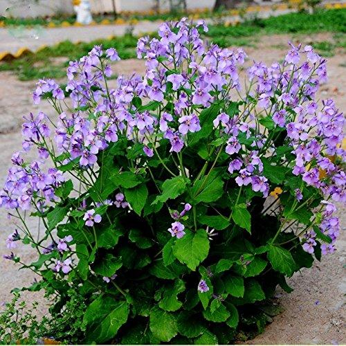 Solution Seeds Farm Hierloom Herbs Plant February Lan Orychophragmus Violaceus Flower Seeds, Original Pack, 120 seeds, beautiful light up your garden - Lan Solution