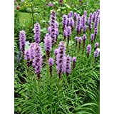 Perennial: BLAZING STAR SPICATA 40 Seeds *Butterfly Garden* Very Fragrant, High Quality & Germination