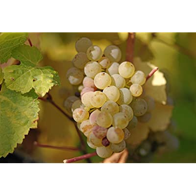 Vitis vinifera Riesling Wine Grape Seeds! : Garden & Outdoor