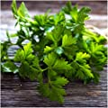 Package of 600 Seeds, Italian Flat Leaf Parsley (Petroselinum crispum) Non-GMO Seeds By Seed Needs